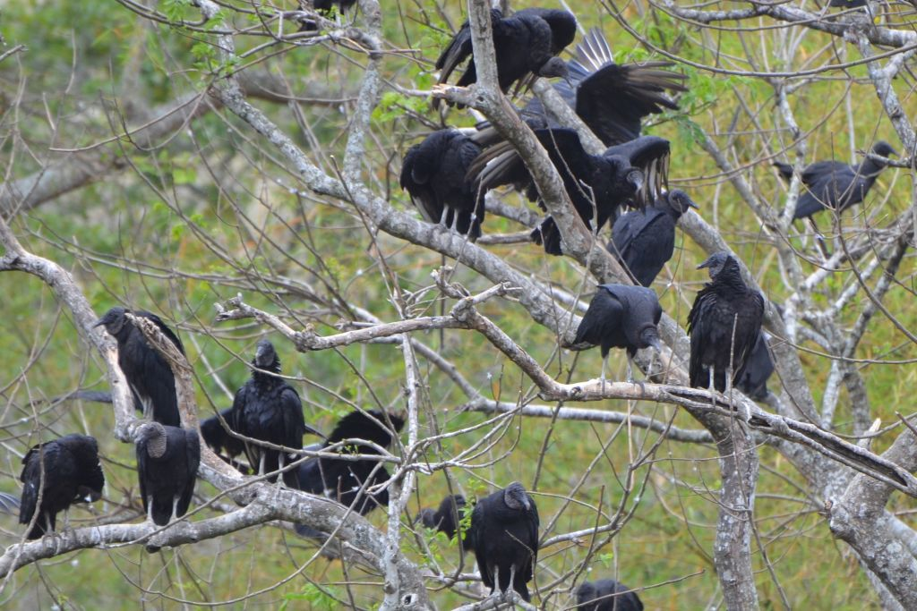 group of vultures