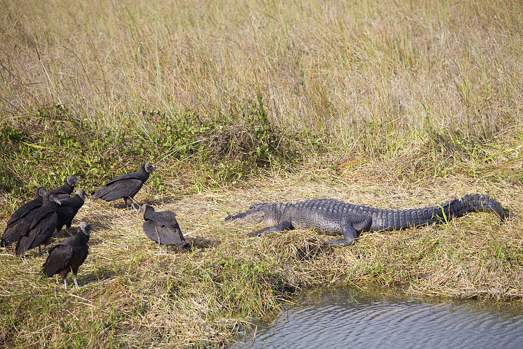 vultures and gator