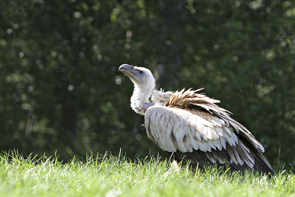vulture urine