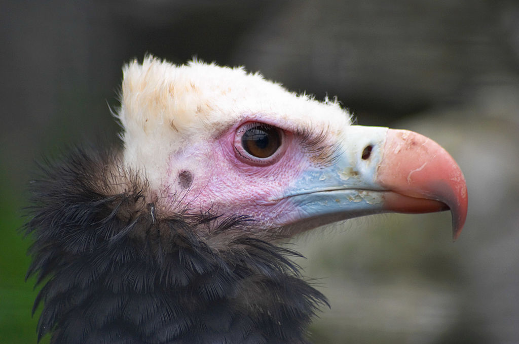 colorful vulture