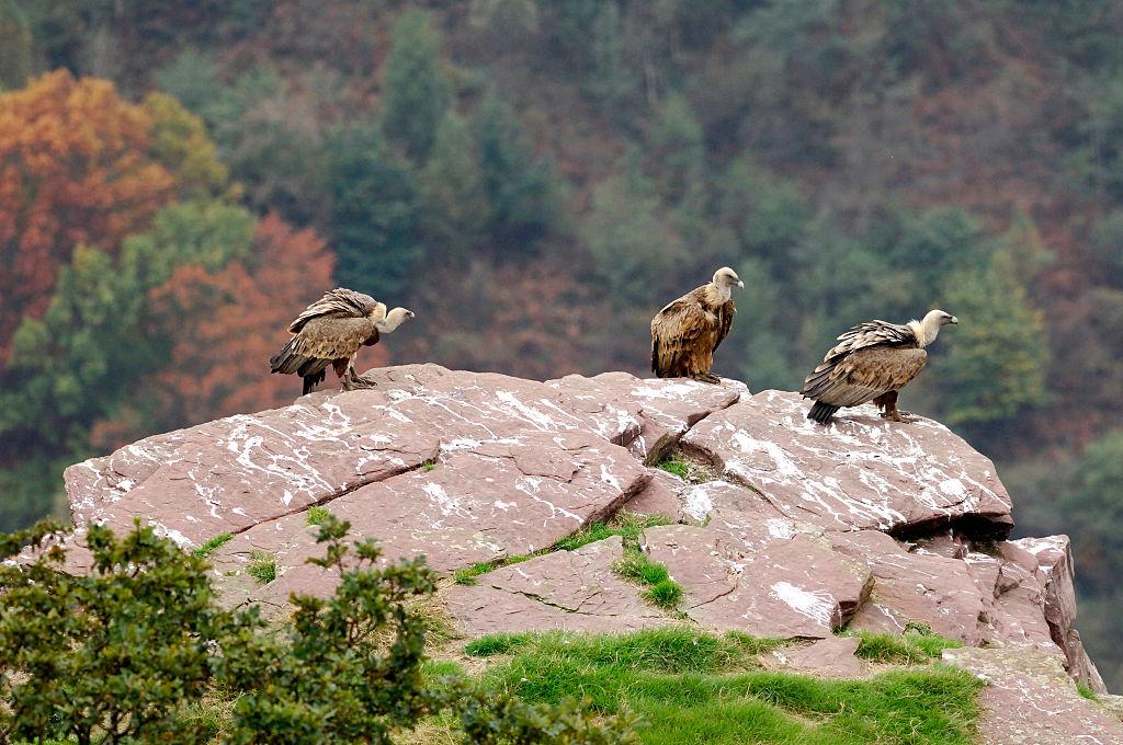 vulture species