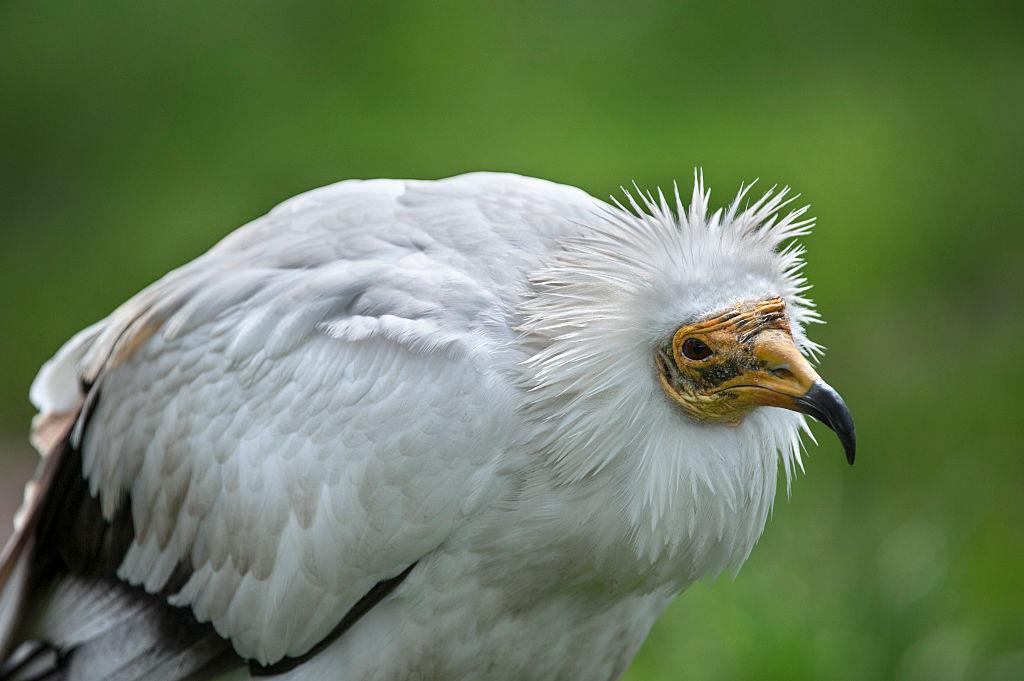 International Vulture Day celebrant