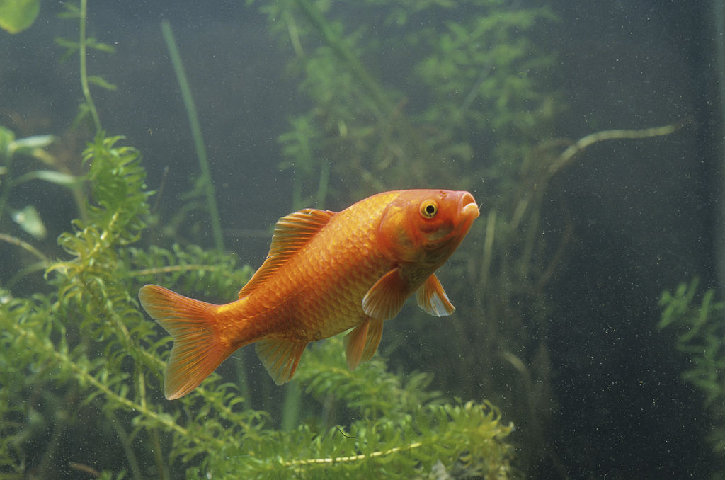 Goldfish actually have great memories -157899878