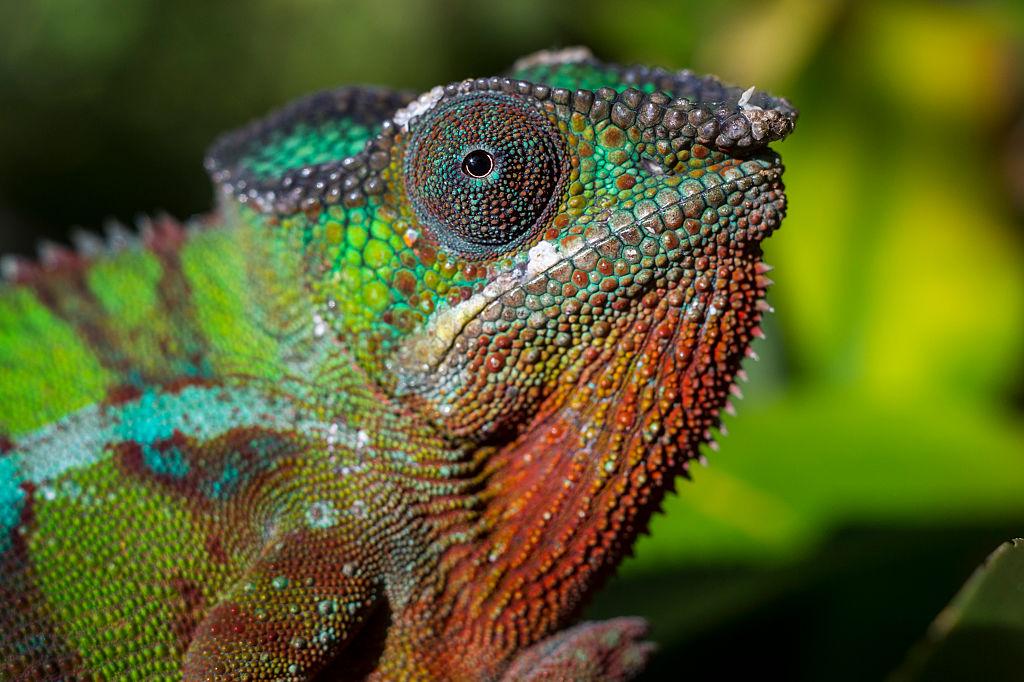 Chameleons don't change color to blend in - 499797652