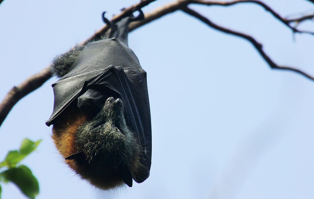 Many bats have better vision than humans -80317992