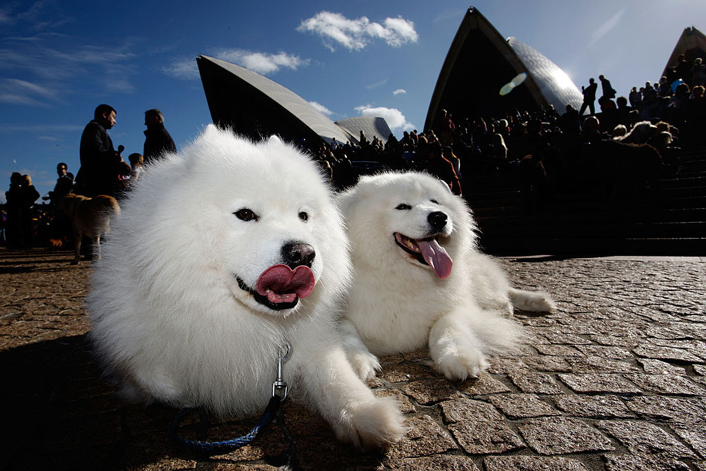 Two Samoyeds lounge on the concrete at a music event in sunny Australia.