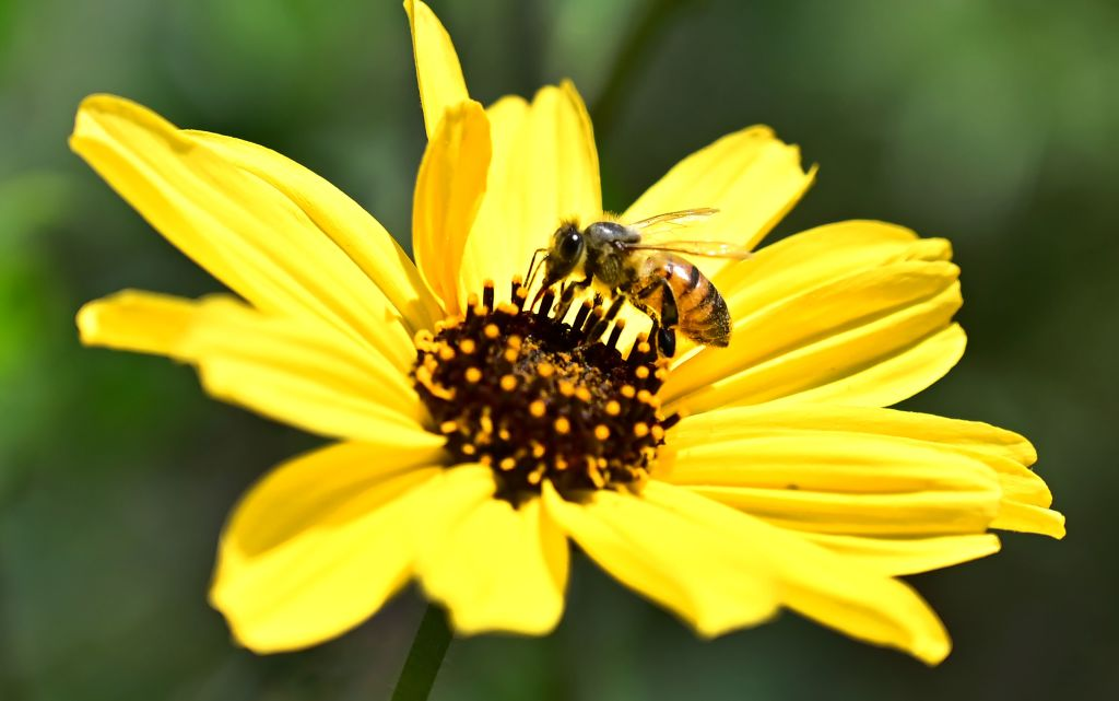 A bee lands in the middle of a yellow flower.