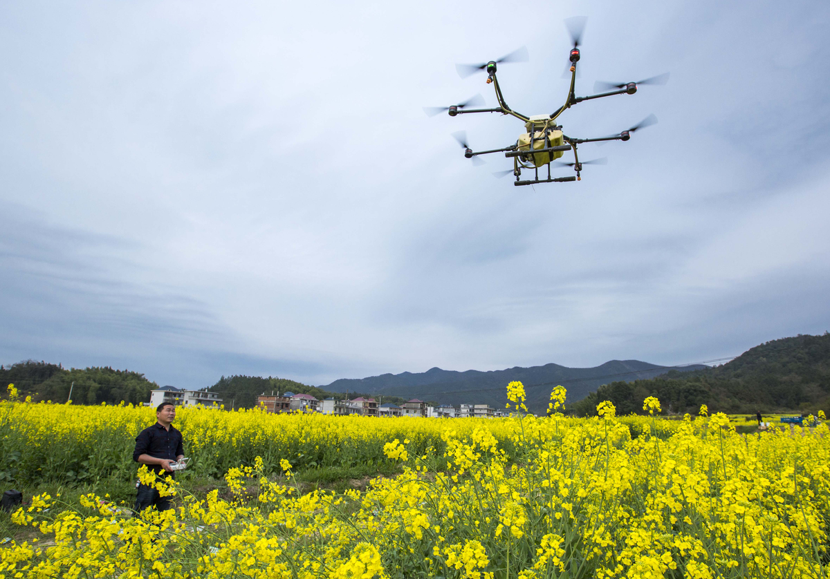 Technician manipulates a drone to spread pesticide in a flower field.
