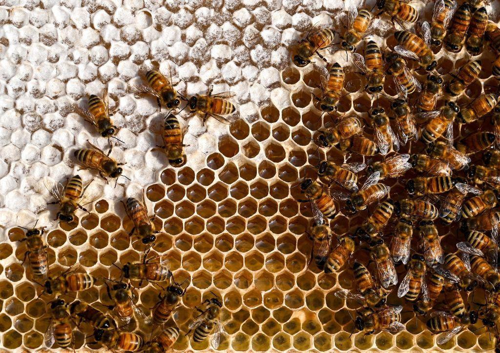 Bees crawl along hive cells full of honey.