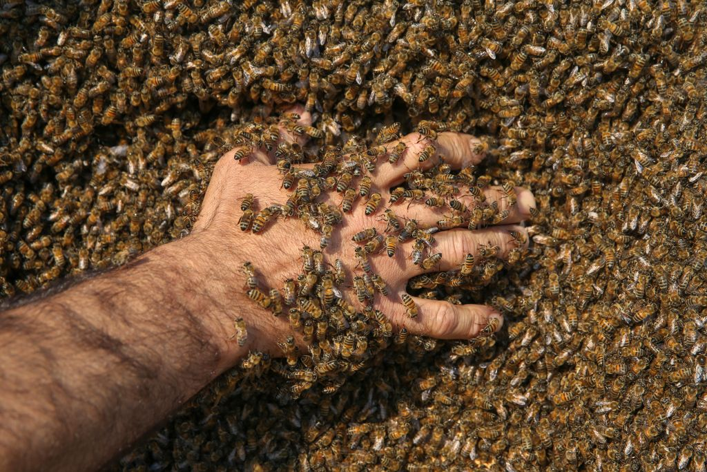 A person reaches into a pile of bees.