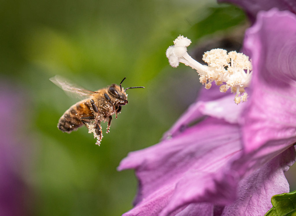 A bee flies out of a flower covered in pollen.