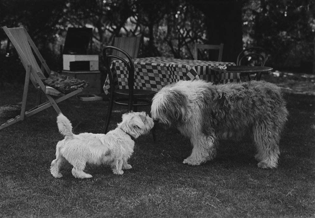 A black and white photo shows two dogs putting their noses together.