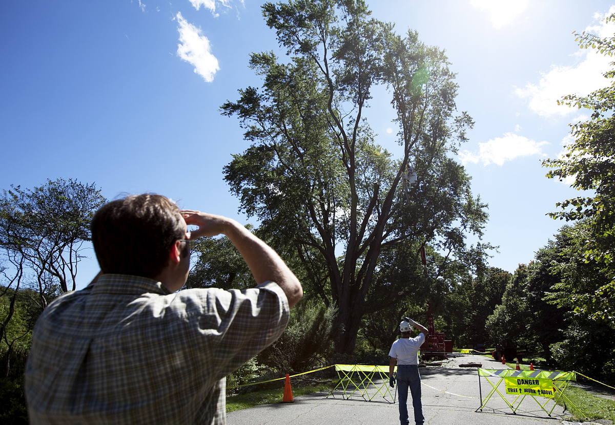Men watch as a silver maple tree has one of its leaders trimmed after it was damaged in Tropical Storm Irene.
