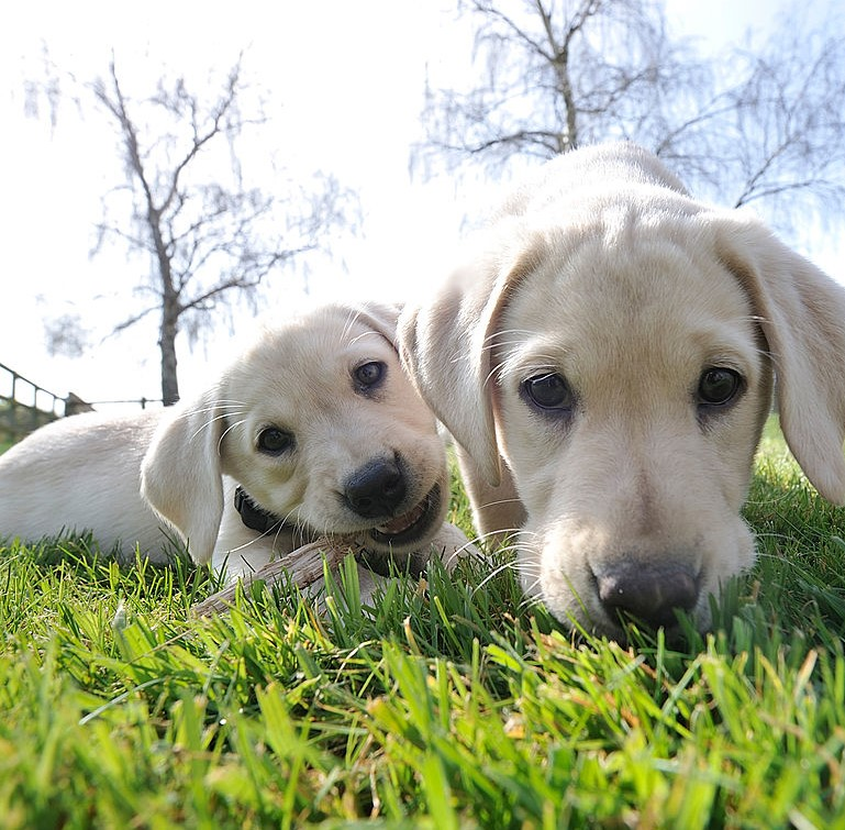 A pup chews a stick near another pup whose nose is pointed in the grass.