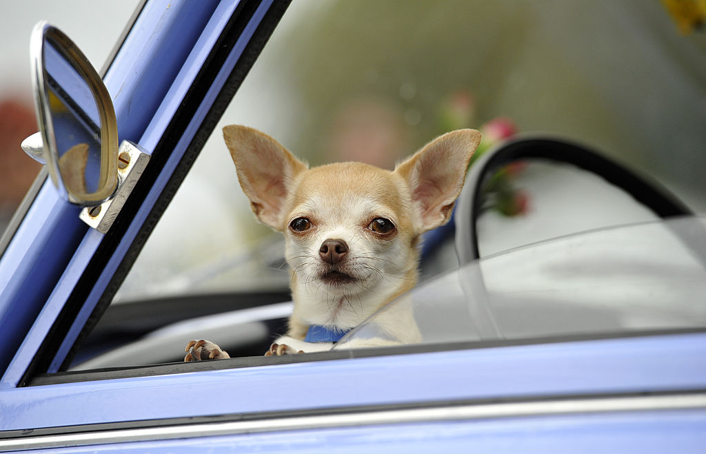 A chihuahua peaks its head out of the driver's side car window.