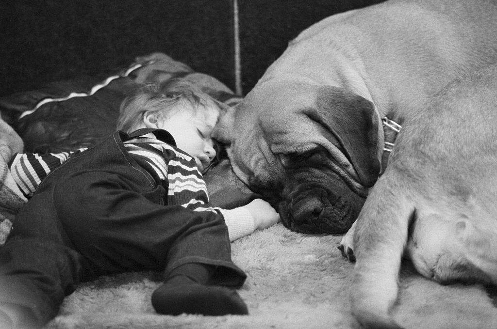 A toddler boys sleeps next to his Mastiff.
