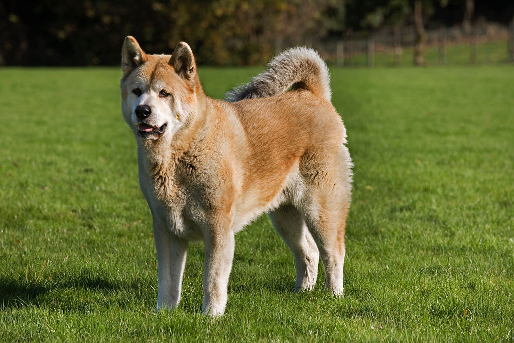 An Akita Inu stands in the middle of a grass expanse looking serious.
