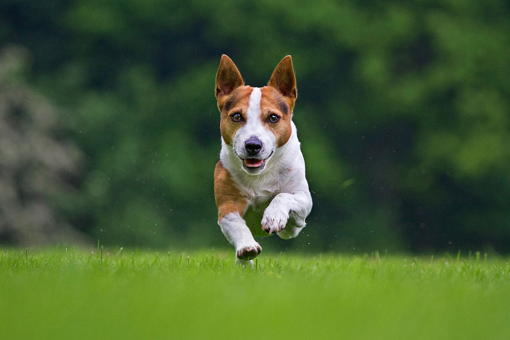 A Jack Russel is midair as it sprints towards the camera.