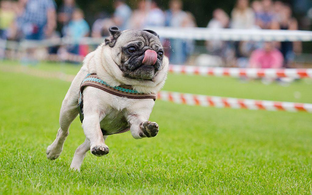 A pug sprints in a race.