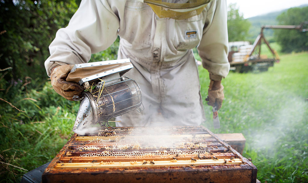 A beekeeper smokes out a hive.