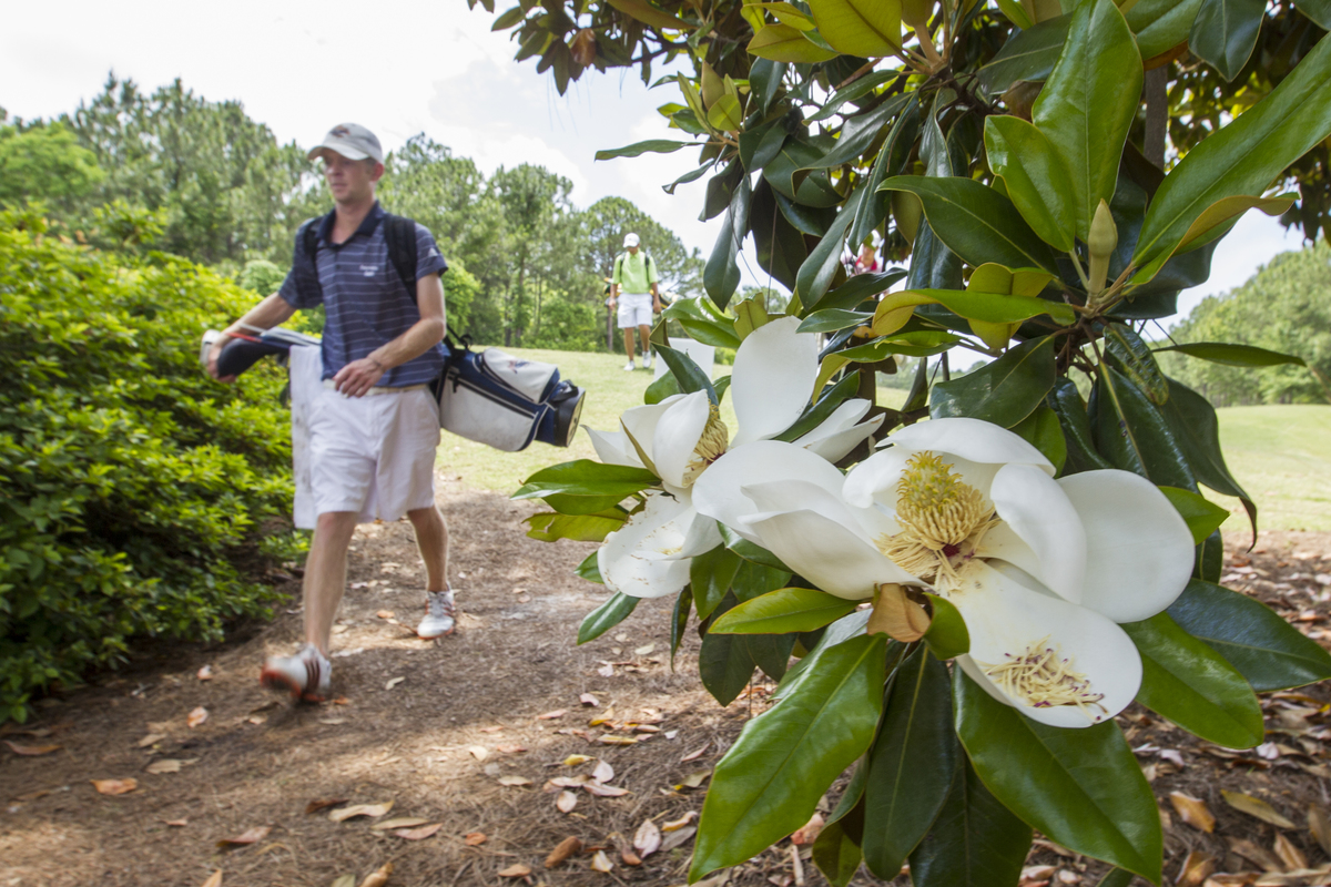 John Dukes passes by the blooms of the southern magnolia tree