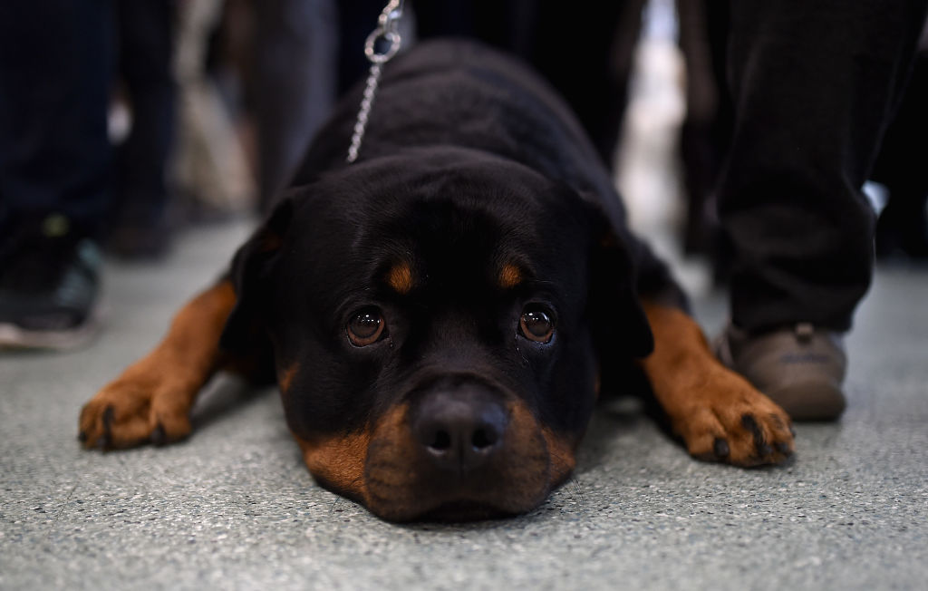 A Doberman lays on its stomach with its chin to the floor.