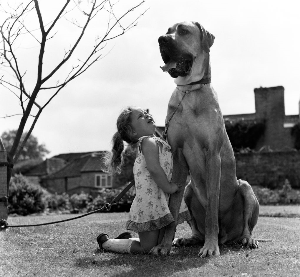 A little girl on her knees looks up at her Great Dane.