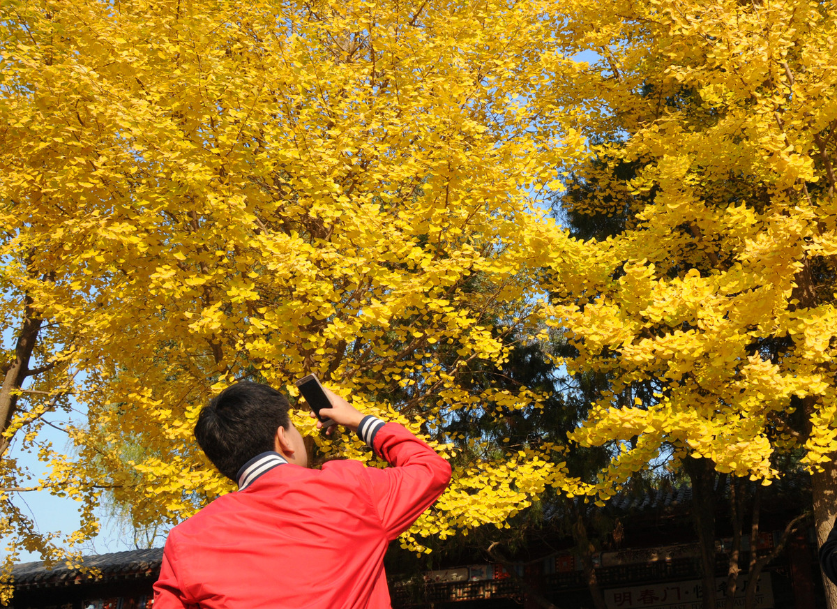 A man takes photos under ginkgo trees during autumn in Beijing, China.