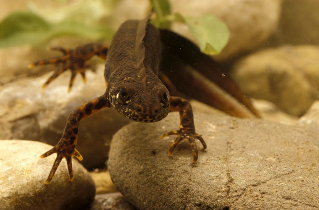 Newts Are Carnivores