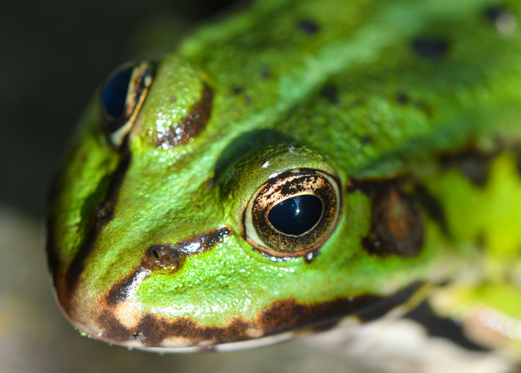 A Frog's Eyes Helps It Swallow Prey