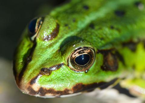 A Frog's Eyes Helps It Swallow Prey