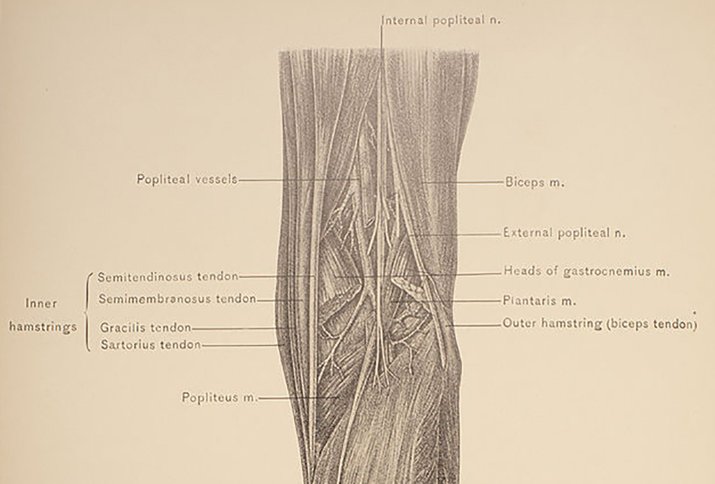 Diagram of leg muscle