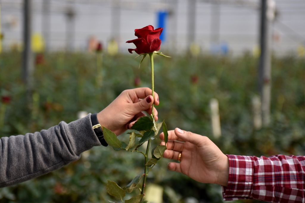 A woman hands a red rose to a man.