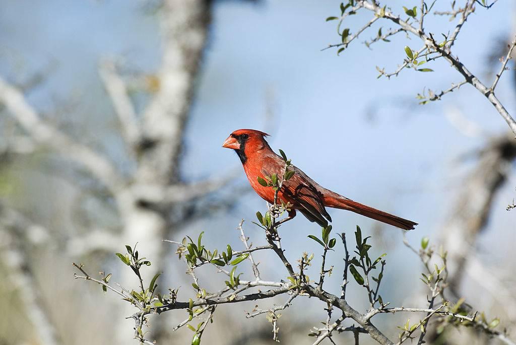 Northern Cardinal, Male In Tree.
