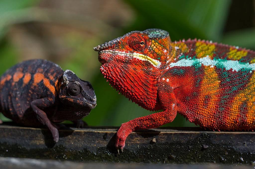 chameleons on a branch