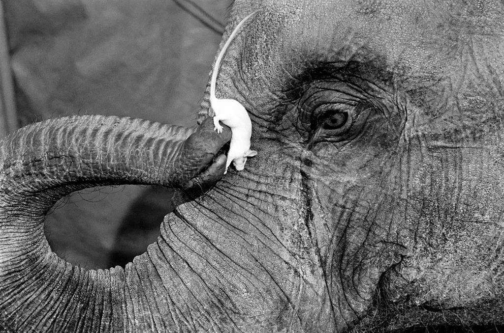 a mouse playing with an elephant