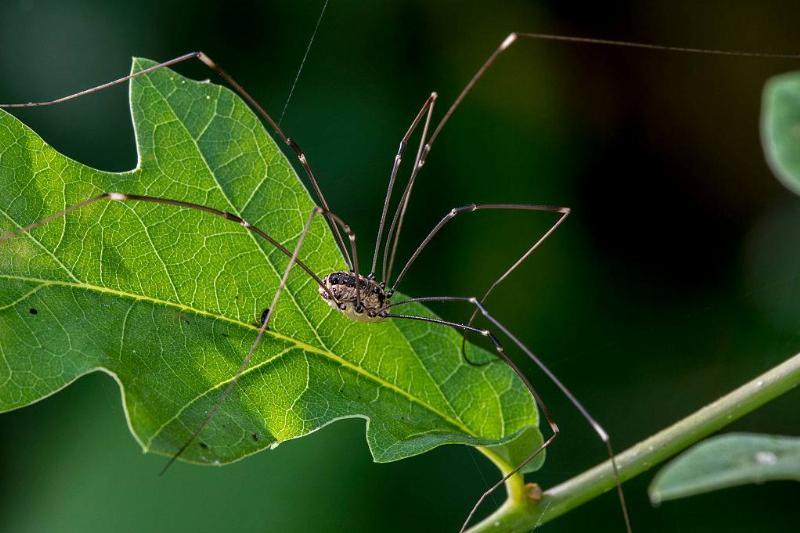 a harvestmen arachnid