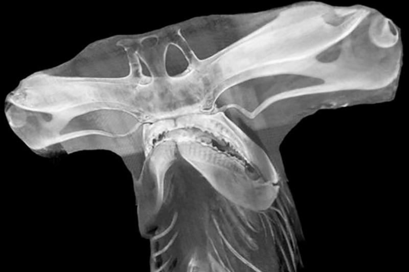 X-Ray of hammerhead