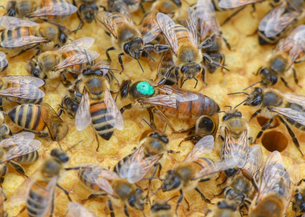A queen bee, marked with a coloured dot, is on a brood comb together with other bees.