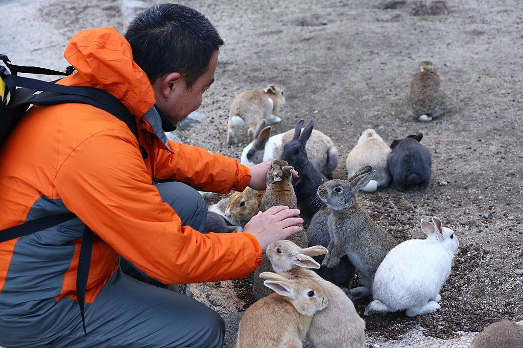 A tourist sits and feeds a herd of rabbits at Okunoshima Island at Okunoshima Island in Okunoshima, Japan.