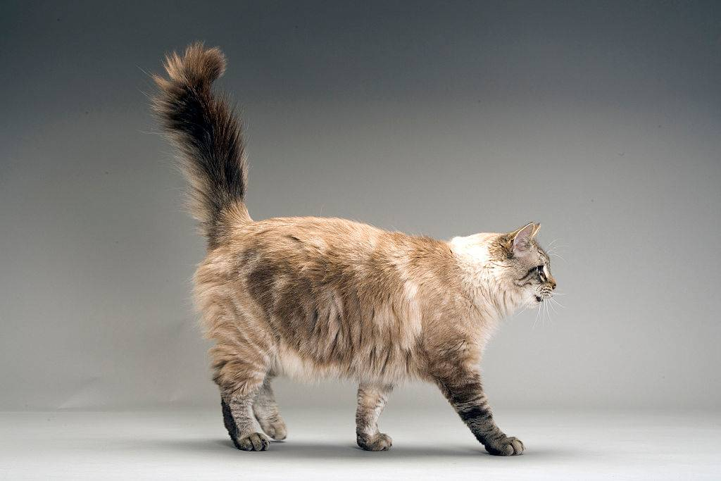 Domestic cat of mixed breed, Felis catus, walking with bushy tail erect,