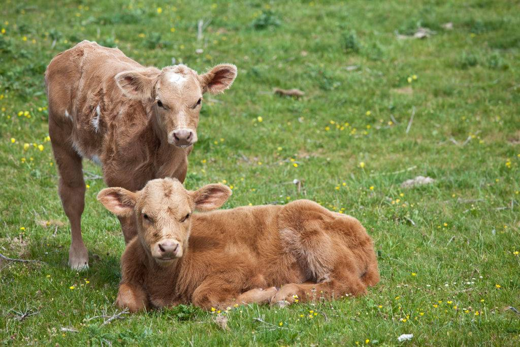 Young brown calves in buttercup meadow