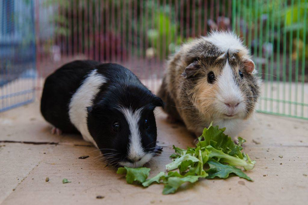 Emi (L) and Ally (R) eat lettuce while they are having floor time in San Diego, California
