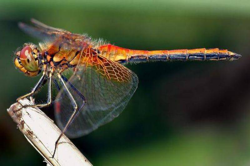 female-dragonflies-fake-death-to-avoid-males-46876