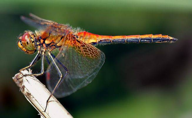 female-dragonflies-fake-death-to-avoid-males