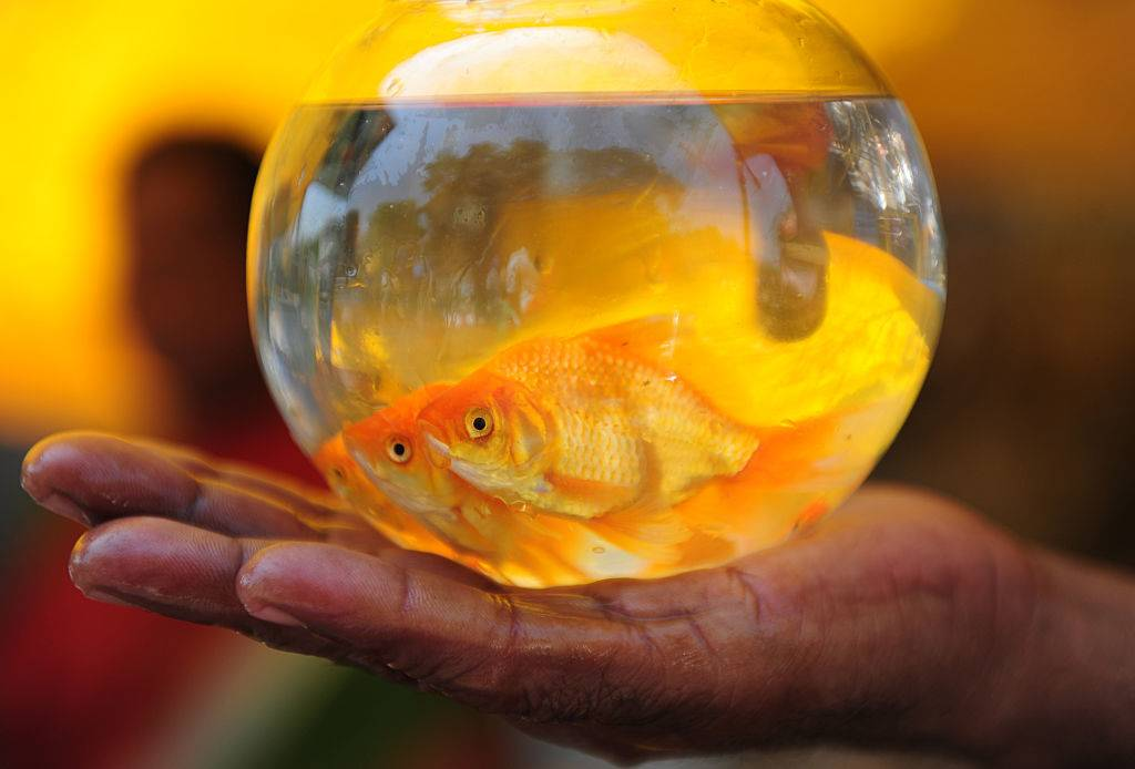 goldfish in a glass bowl