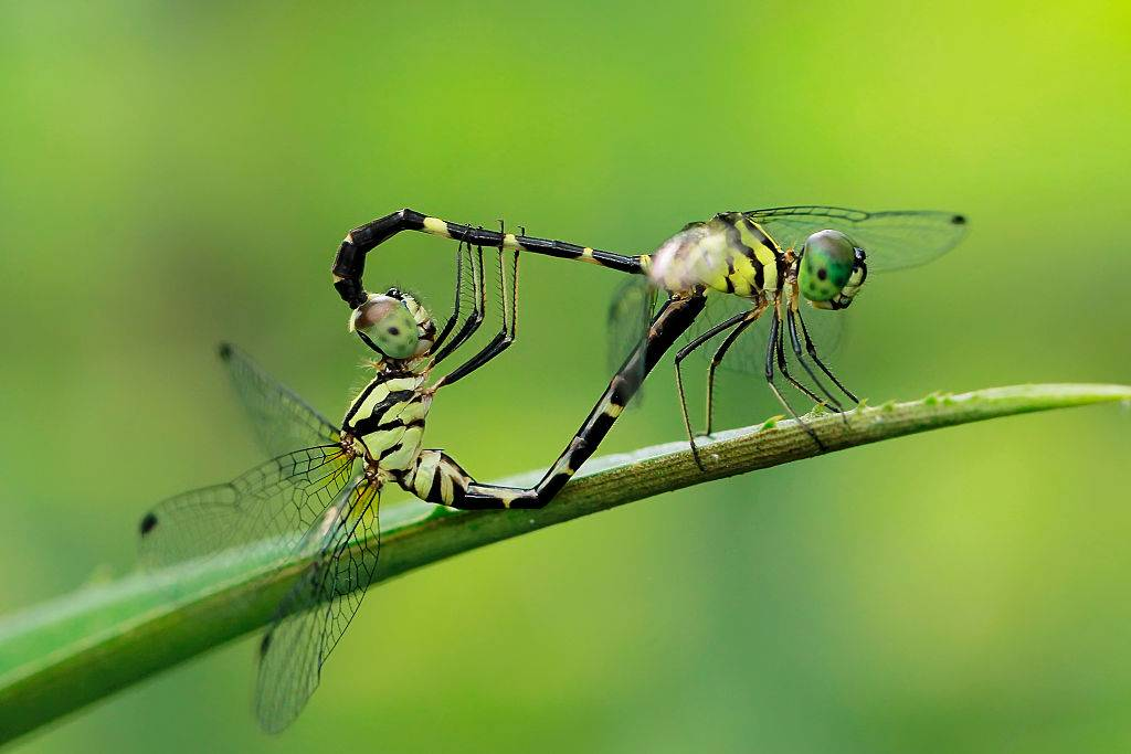 Dragonfly insect mating pair.