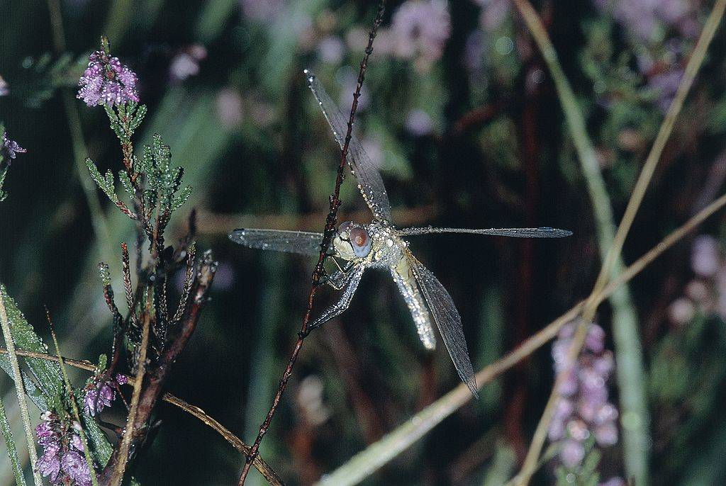 Dragonflies are common in wet areas