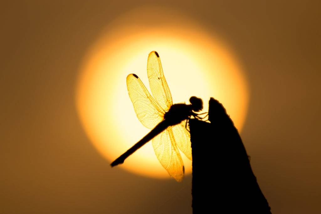 The dragonflies perch on the trunks at sunset