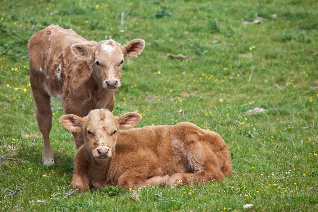 Young brown calves